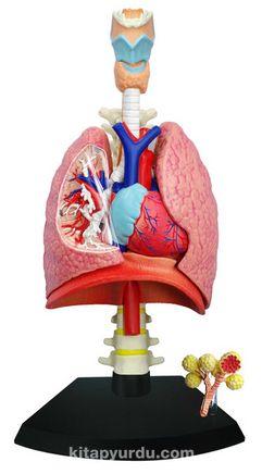 Solunum Sistemi Maketi