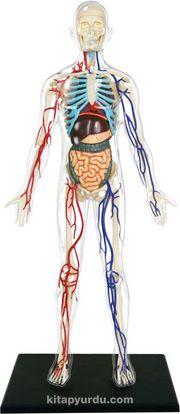 Şeffaf İnsan Vücudu Maketi (33 cm)