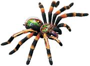 Tarantula Anatomisi Maketi